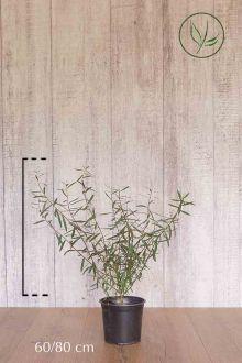 Dvärgrödvide Kruka 60-80 cm