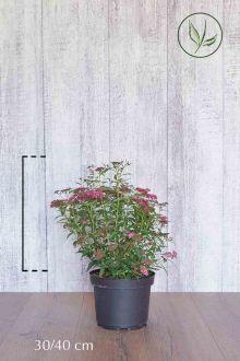 Rosenspirea 'Anthony Waterer' Kruka 30-40 cm