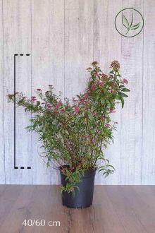 Rosenspirea 'Anthony Waterer' Kruka 40-60 cm
