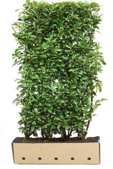 Lagerhägg 'Genolia'® Färdiga häckar 200 cm Färdig häck