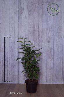Lagerhägg 'Genolia'® Kruka 60-80 cm