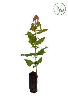 Naverlönn Pluggplantor 20-40 cm Extra kvalitet