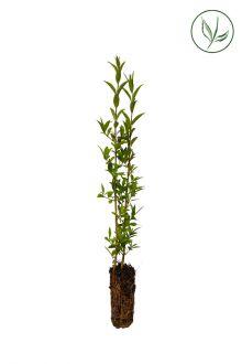 Liguster Pluggplantor 15-30 cm Extra kvalitet