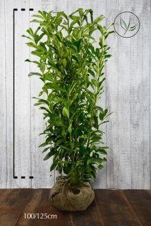 Lagerhägg 'Genolia'® Klump 100-125 cm Extra kvalitet
