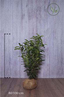 Lagerhägg 'Genolia'® Klump 80-100 cm Extra kvalitet