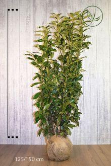 Lagerhägg 'Genolia'® Klump 125-150 cm Extra kvalitet