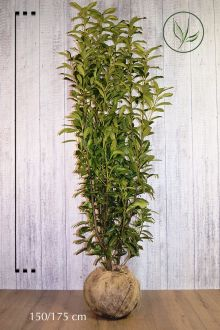 Lagerhägg 'Genolia'® Klump 150-175 cm Extra kvalitet