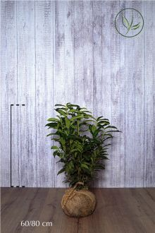 Lagerhägg 'Genolia'® Klump 60-80 cm Extra kvalitet