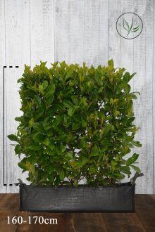 Lagerhägg 'Rotundifolia' Färdiga häckar 160-170 cm Färdig häck