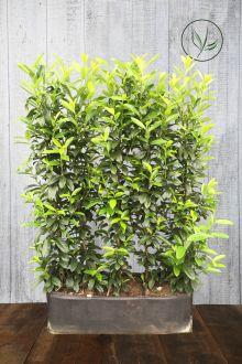 Lagerhägg 'Genolia'® Färdiga häckar 160-170 cm Färdig häck