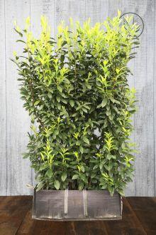 Lagerhägg 'Genolia'® Färdiga häckar 180-190 cm Färdig häck