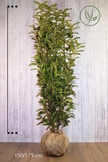 Lagerhägg 'Genolia'® Klump 175-200 cm Extra kvalitet