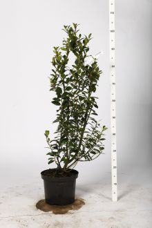 Järnek 'Heckenpracht' Kruka 80-100 cm Extra kvalitet