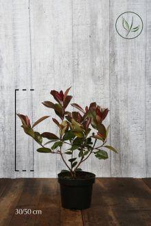 Glansmispel 'Red Robin' Kruka 30-50 cm