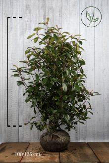 Glansmispel 'Red Robin' Klump 100-125 cm