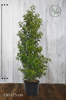 Portugisisk lagerhägg Kruka 150-175 cm Extra kvalitet