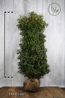 Portugisisk lagerhägg Klump 150-175 cm Extra kvalitet