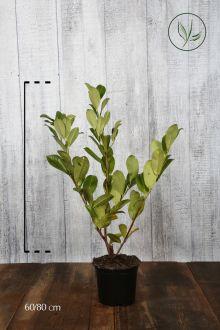 Lagerhägg 'Rotundifolia' Kruka 60-80 cm