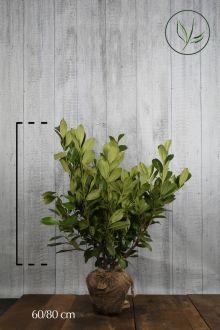 Lagerhägg 'Rotundifolia' Klump 60-80 cm