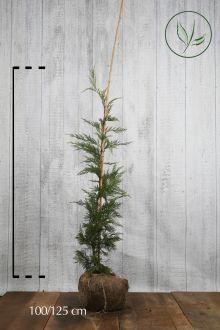Leylandcypress Klump 100-125 cm