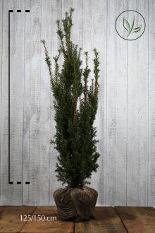 Hybrididegran 'Hicksii' Klump 125-150 cm