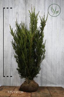 Hybrididegran 'Hillii' Klump 125-150 cm Extra kvalitet