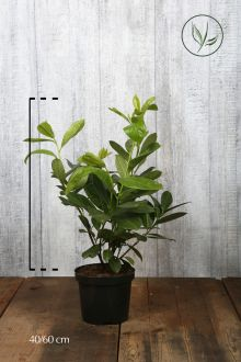 Lagerhägg 'Rotundifolia' Kruka 40-60 cm