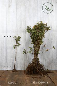 Naverlönn Barrotad 40-60 cm