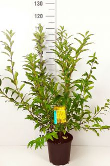 Forsythia 'Spectabilis' Kruka 60-80 cm Extra kvalitet