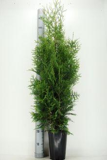 Thuja 'Brabant' Kruka 100-125 cm Extra kvalitet