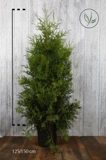 Thuja 'Brabant' Kruka 125-150 cm Extra kvalitet
