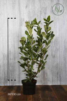 Lagerhägg 'Rotundifolia' Kruka 80-100 cm