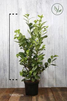 Lagerhägg 'Rotundifolia' Kruka 100-125 cm