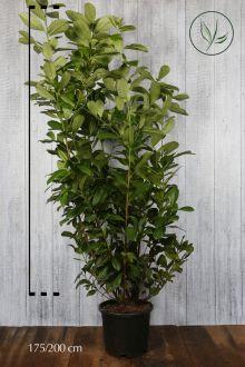 Lagerhägg 'Rotundifolia' Kruka 175-200 cm