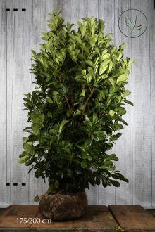 Lagerhägg 'Rotundifolia' Klump 175-200 cm