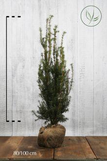 Hybrididegran 'Hicksii' Klump 80-100 cm
