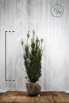 Hybrididegran 'Hicksii' Klump 100-125 cm