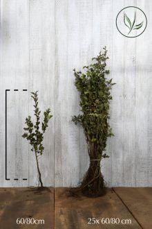 Trubbhagtorn Barrotad 60-80 cm
