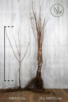 Naverlönn Barrotad 100-125 cm Extra kvalitet