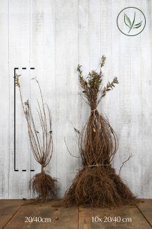 Bruddeutzia Barrotad 20-40 cm