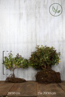Rosenspirea 'Anthony Waterer' Barrotad 20-30 cm
