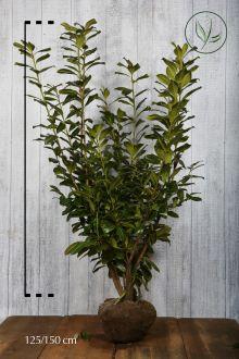 Lagerhägg 'Novita' Klump 125-150 cm Extra kvalitet