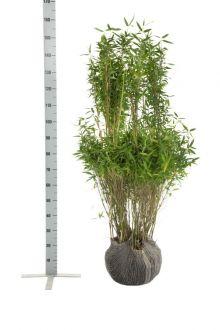 Dvärgbambu 'Simba' Klump 125-150 cm
