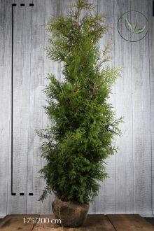Thuja 'Brabant' Klump 175-200 cm Extra kvalitet