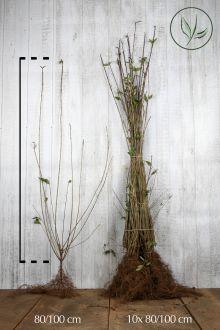 Vintergrön liguster Barrotad 80-100 cm