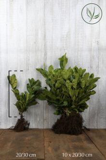 Lagerhägg 'Rotundifolia' Barrotad 20-30 cm