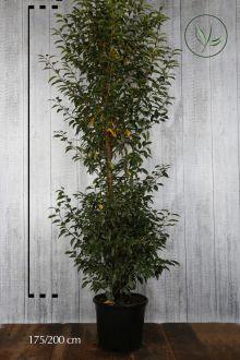 Portugisisk lagerhägg Kruka 175-200 cm Extra kvalitet