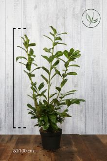 Lagerhägg 'Novita' Kruka 80-100 cm