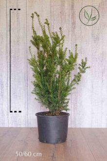 Hybrididegran 'Hicksii' Kruka 50-60 cm