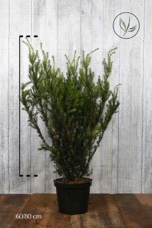 Hybrididegran 'Hicksii' Kruka 60-80 cm